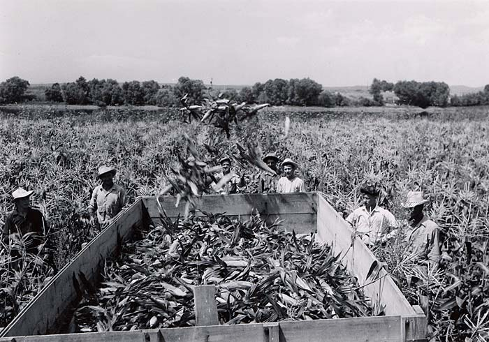 Workers in a field of corn with a large wooden bin in the center. Workers throw corn into the bin.