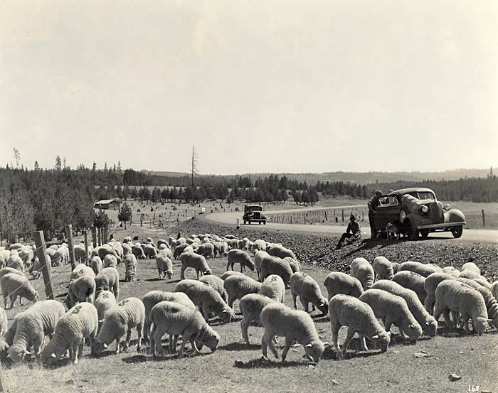 Dozens of white sheep graze by the side of the road. A group of people stand next to a stopped vehicle.