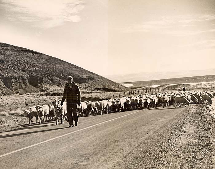 Man leads a flock of sheep down a paved road.
