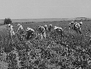 About 10 workers with hats to protect them from the sun use hoes in a sugar beet field.