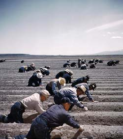 Wide open field with about 2 dozen Japanese workers bent over the ground working.