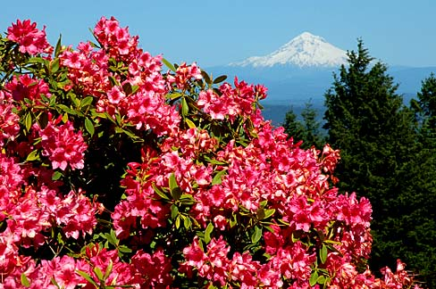 Rhododendron in full blook with snow covered mt. hood on horizon.