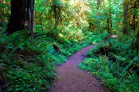 Winding dirt trail leads through lush forest with sun shining through.