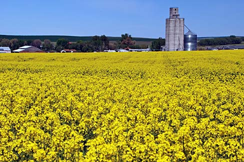 Field with yellow blooming canola flowers and a grain silo in the distance.