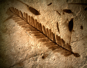 Metasequoia tree fossil