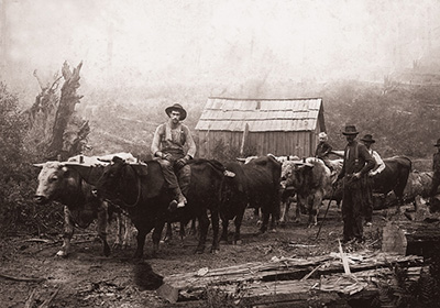 A team of about 6 or 7 oxen with men standing beside them. One man sits on top of one ox.