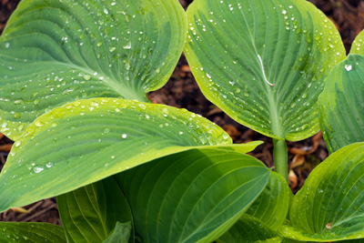 green hosta plant covered with dew