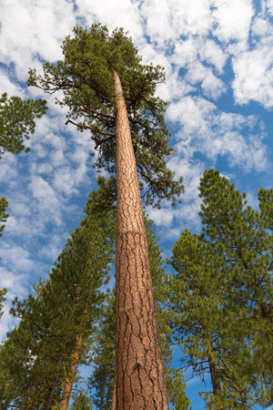 view of ponderosa pine trees from the ground looking up towards the sky